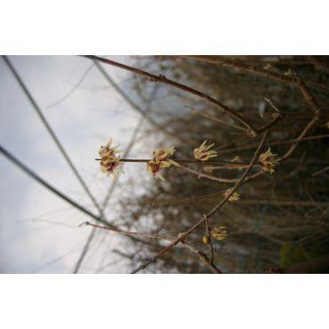 Chimonanthus praecox ( chinesische Winterblüte )