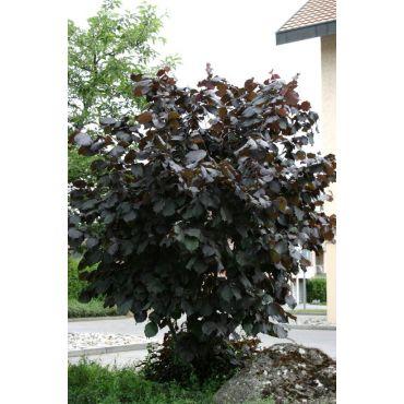 Corylus maxima Purpurea (noisetier de Lombardie, noisetier à gros fruits)
