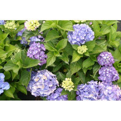 Hydrangea macrophylla Boule bleu ( blaue Hortensie )