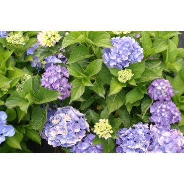 Hydrangea macrophylla Boule bleu (Hortensia)