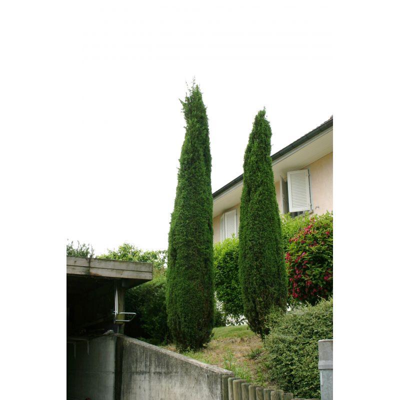 Juniperus communis Sentinel (genévrier)