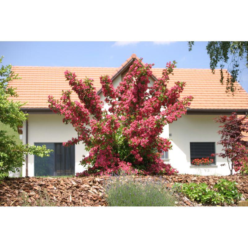 weigelia bristol ruby weigelie kaufen bei pflanzen. Black Bedroom Furniture Sets. Home Design Ideas