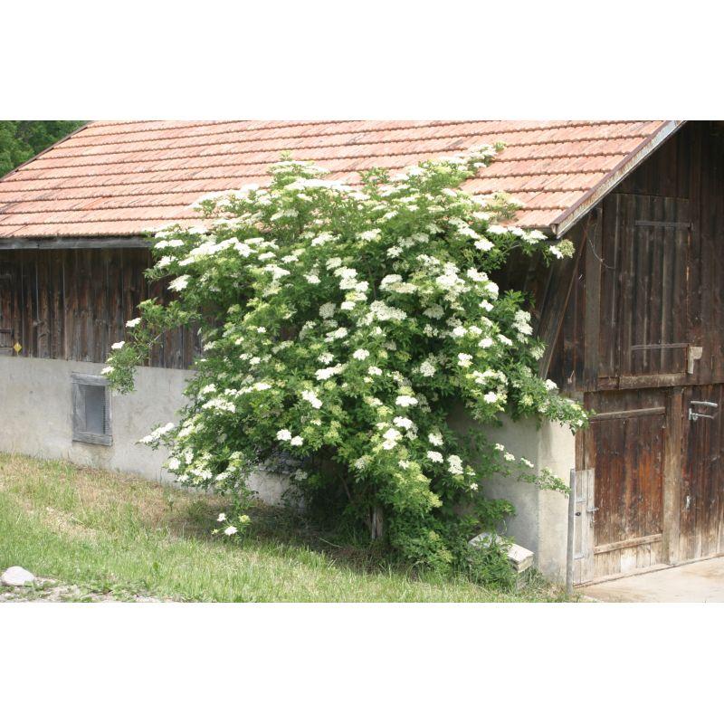 sambuscus nigra schwarzer holunder kaufen bei pflanzen. Black Bedroom Furniture Sets. Home Design Ideas