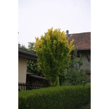 Ulmus x hollandica Wredei ( Goldulme )
