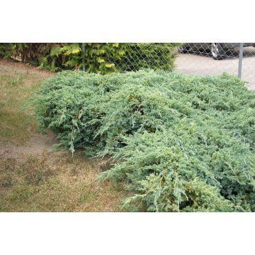 Juniperus squamata Blue Carpet (genévrier)