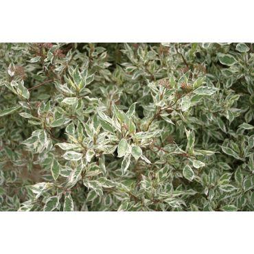 Cornus alba Elegantissima (cornouiller panaché)