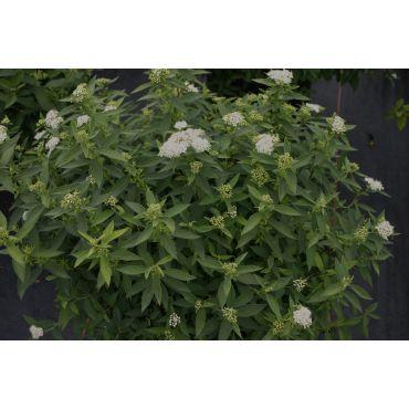 Spirea japonica Albiflora (spirée)