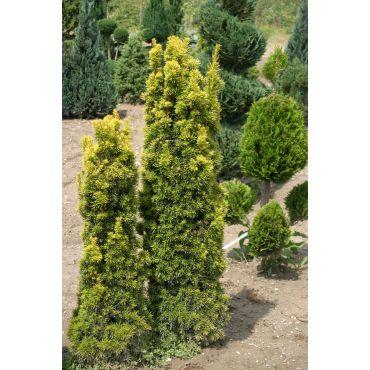 Taxus baccata Fastigiata Aurea ( Säuleneibe )