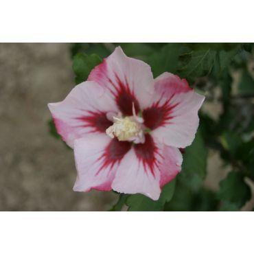 Hibiscus syriacus Hamabo ( Straucheibisch, Hibiskus )