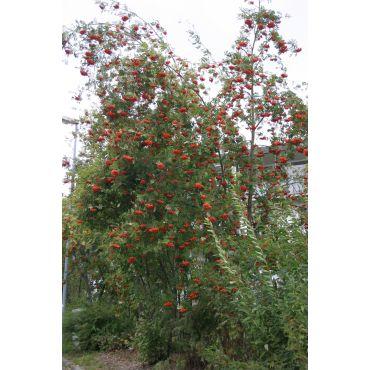 Sorbus aucuparia auf Stamm ( Eberesche, Vogelbeerbaum )