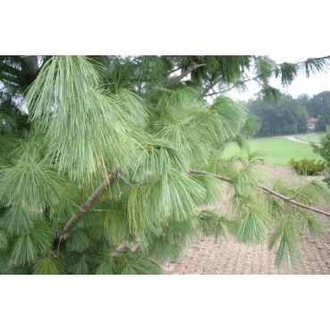 Pinus x schwerinii ( Zapfenkiefer, Tränenkiefer )
