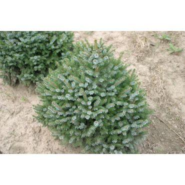 Picea omorika Nana ( Zwerg- Serbische Fichte )