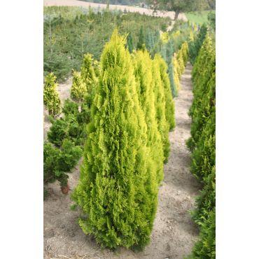 Thuja orientalis Pyramidalis Aurea  ( Morgenländischer Lebensbaum, Thuja )