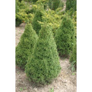 Picea glauca Conica ( Zuckerhutfichte )