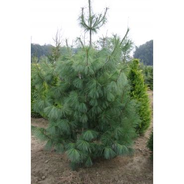 Pinus wallichiana ( Tränenkiefer, hängende Himalayakiefer )