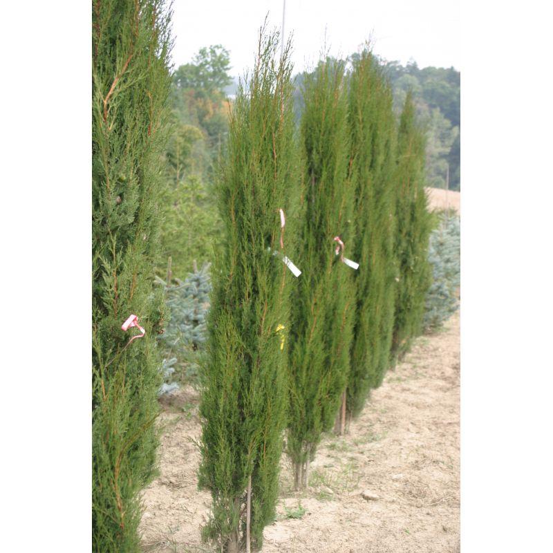 Cupressus sempervirens Stricta (cyprès d'Italie)