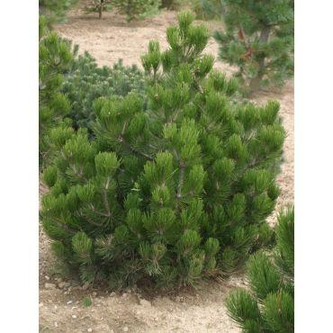 Pinus leucodermis Schmidtii  ( Schmidt's Zwerg-Schlangenhautkiefer )