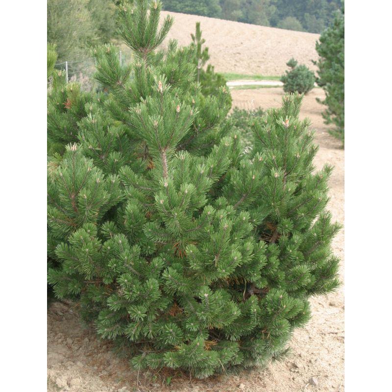 Pinus mugo  ( Bergkiefer )
