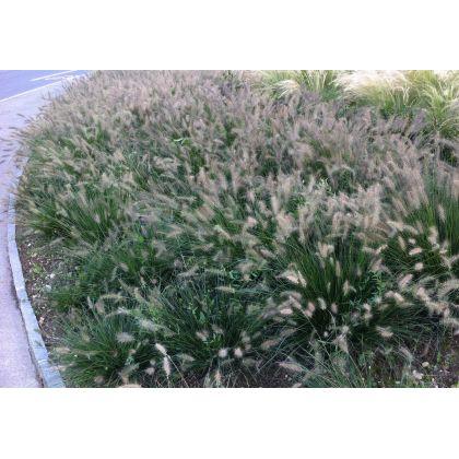 Pennisetum alopecuroides Hameln (herbe aux écouvillions)