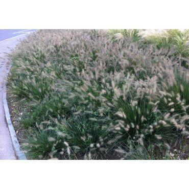 Pennisetum alopecuroides Hameln ( Federborstengras )