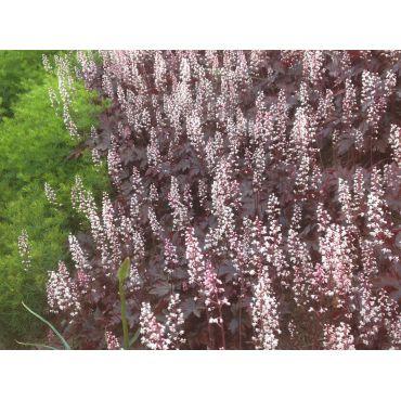 Heuchera micrantha Palace Purple  ( Purpurglöckchen )