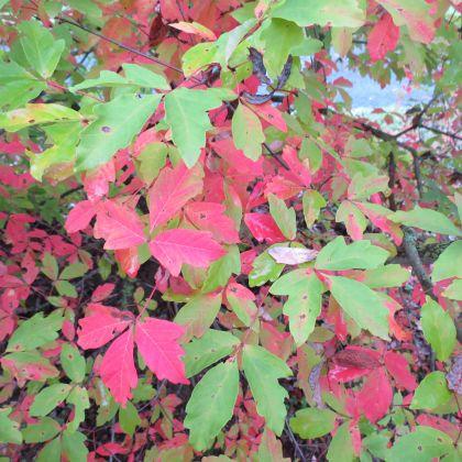 Acer griseum ( Zimtahorn, Grauahorn )