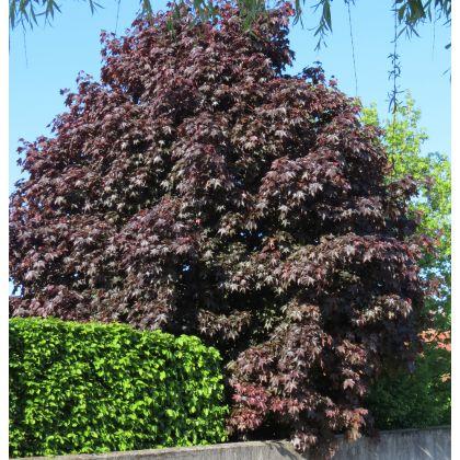 Acer platanoïdes Crimson King (érable plane pourpre)