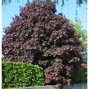 Acer platanoïdes  Crimson King ( Roter Spitz-Ahorn )