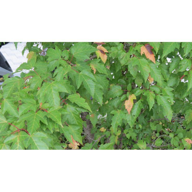 Acer rufinerve ( Streifen-Ahorn, Rostbart-Ahorn )
