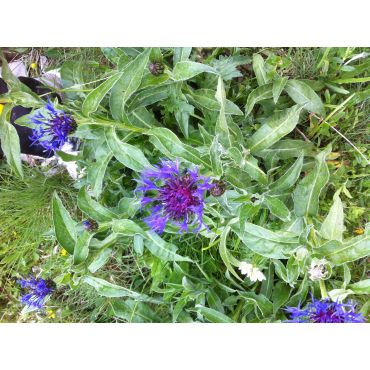 Centaurea montana Grandiflora (bleuet, centaurée)