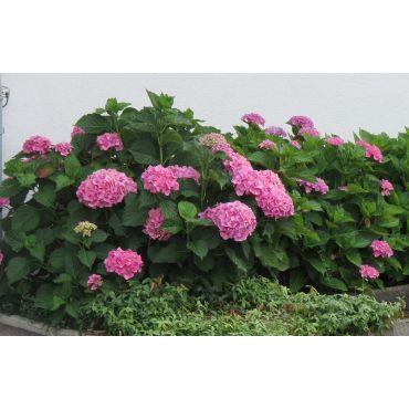 Hydrangea macrophylla Boule rose ( rosa Hortensie)