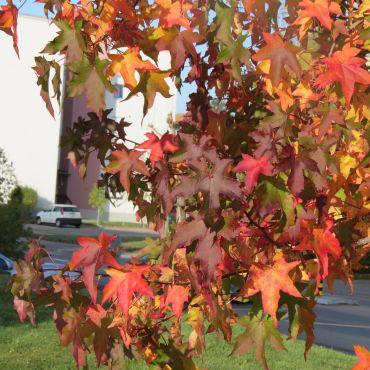 Liquidambar styraciflua auf Stamm ( Amerikanischer Amberbaum )