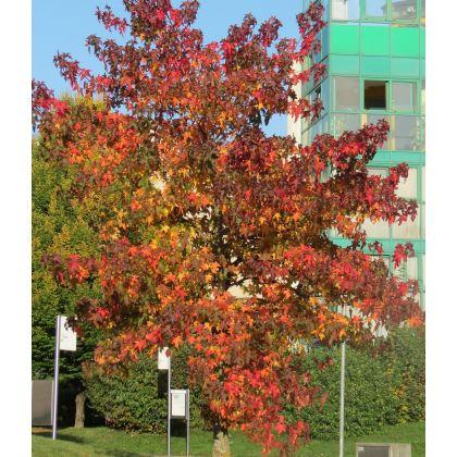 Liquidambar styraciflua ( Amerikanischer Amberbaum )
