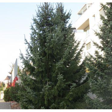 Picea omorika ( Serbische Fichte )