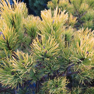 Pinus mugo Ophir (Pin des montagnes)