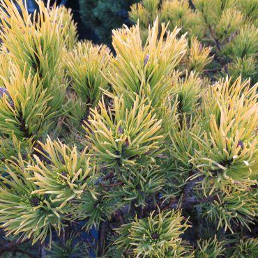 Pinus mugo Ophir  ( Gelbe Zwergkiefer )