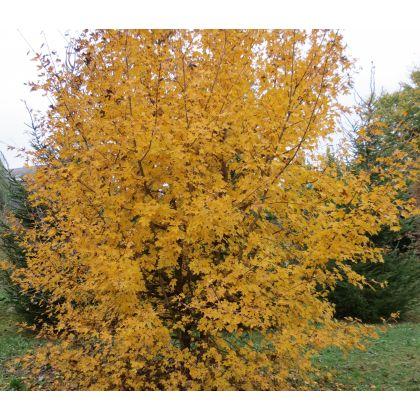 Acer campestre sur tige (érable champêtre)