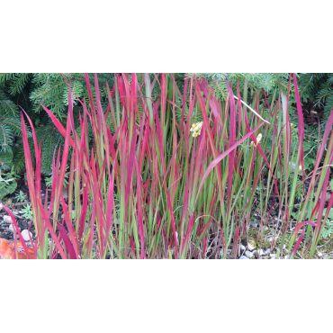 Imperata cylindrica Red Baron ( Japanisches Blutgras )
