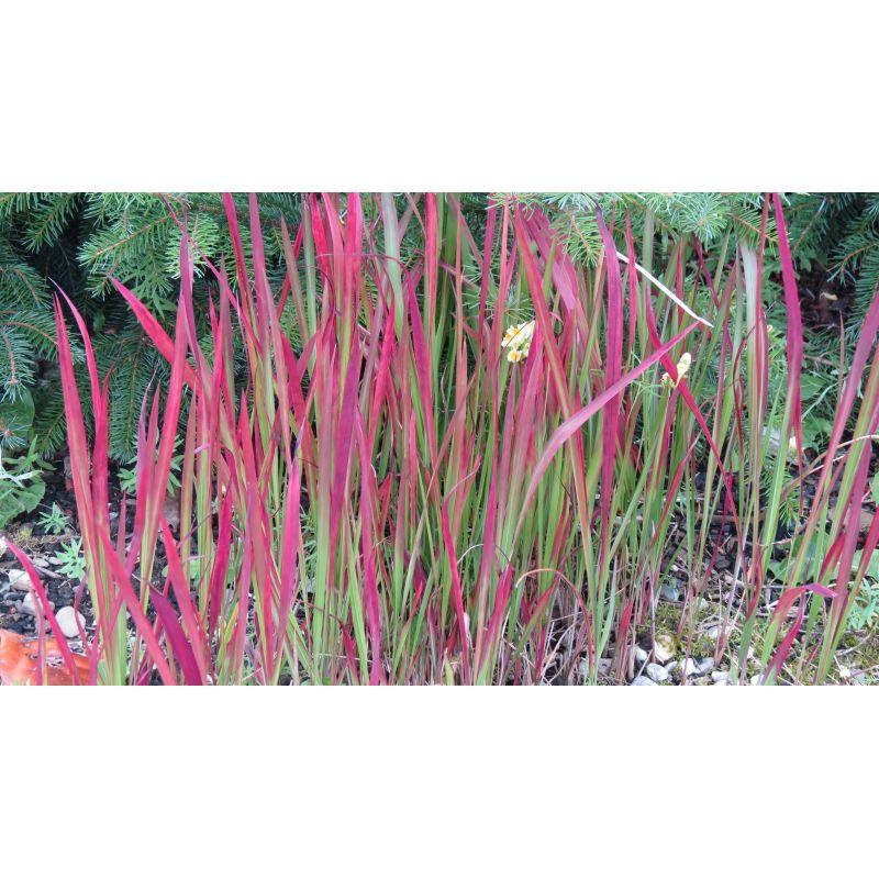 Imperata cylindrica Red Baron