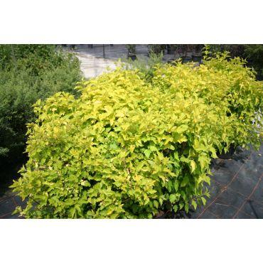 Physocarpus opulifolium Dart's Gold ( goldgelbe Blasenspiere)