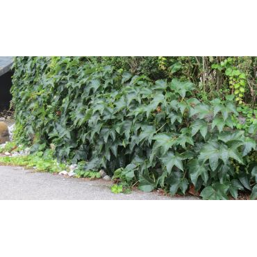 Parthenocissus tricuspidata Veitchii (vigne vierge)