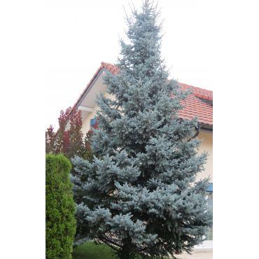 Picea pungens Koster ( Blautanne )