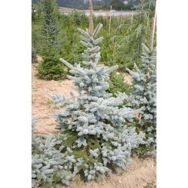 Picea pungens Hoopsii ( Blautanne )