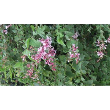 Syringa microphylla Superba  (kleinblätteriger Herbstflieder)