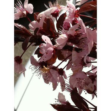 Prunus cerasifera Woodii sur tige (prunier d'ornement) *