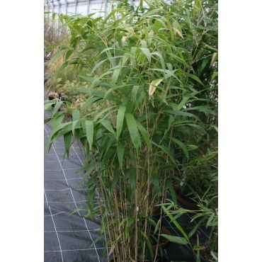 Pseudosasa japonica  (Bambus ) AKTION