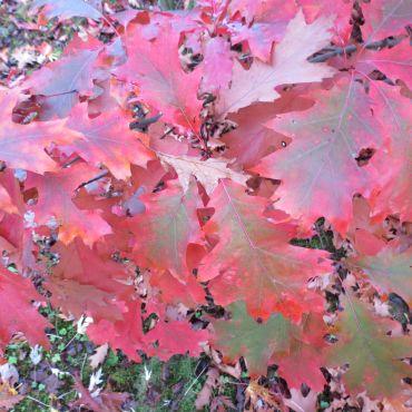 Quercus rubra auf Stamm( Roteiche, Amerikanische Eiche )