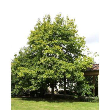 Quercus rubra sur tige (chêne rouge, chêne d'Amérique)