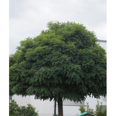 Robinia pseudoacacia Umbraculifera auf Stamm ( Robinie, Schein-Akazie )