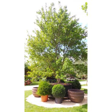 Acer buergerianum 600-700 cm 20 ans